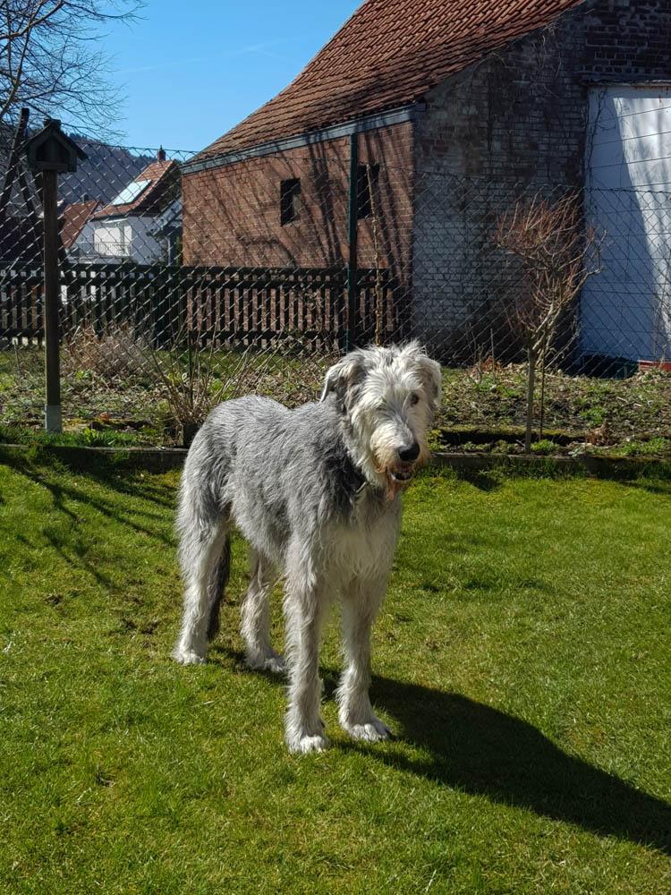 """Senioren von """"Der Irish Wolfhound - the one and only"""" 1"""